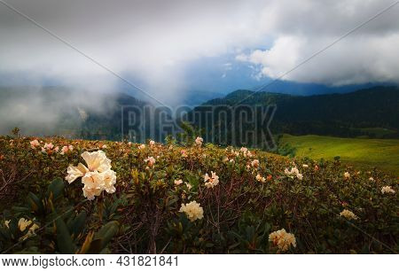 Blooming White Rhododendrons In The Mountains. Caucasus Mountains, Russia. Beautiful Summer Landscap