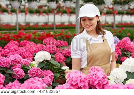 Attractive Woman In White Cap And Beige Apron Standing At Greenhouse With Lots Of Colorful Hydrangea