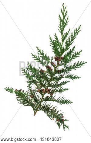 Cedar cypress leylandii fir leaf. Design element. Also used in herbal plant medicine. Is antiseptic, anti inflammatory, antispasmodic, diuretic, insecticidal. Isolated on white background.
