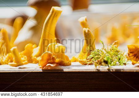 Bright Moss And Fresh Yellow Delicious Vegetarian Chanterelle Mushrooms With Beautiful Texture Of It