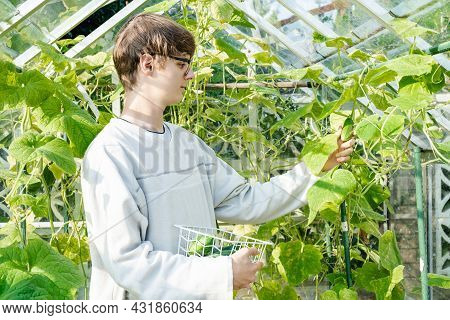 Young Man Picking Harvest Of Fresh Cucumbers In The Sunny Garden Greenhouse. Harvesting. Cottagecore