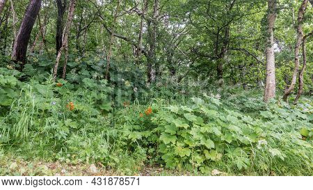 Lush Grass And Wildflowers Grow In A Green Clearing In The Forest. There Are Deciduous Trees All Aro