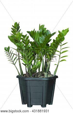 Zamioculcas Zamiifolia, Zanzibar Gem, Aroid Palm Or Arum Fern Growing In Black Plastic Pot Isolated