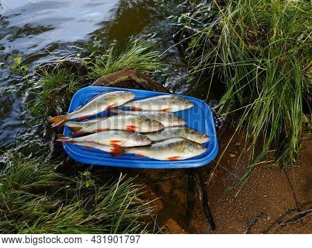 Redfin Perch Successful Fishing Close-up On A Tray