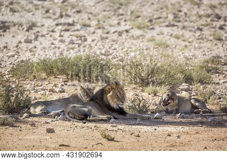 African Lion Male And Two Female Lying Down In Kgalagadi Transfrontier Park, South Africa; Specie Pa