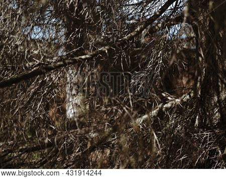 Shallow Dof High Resolution Shot Of Brown Dead Branches And Needles Of Pine Tree