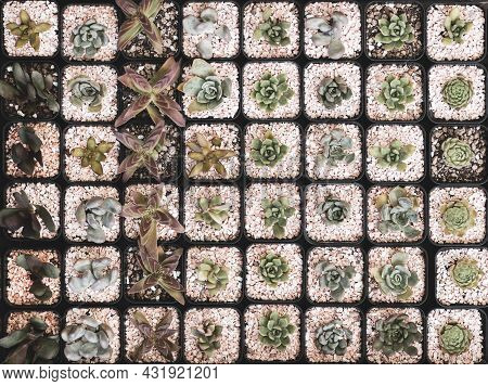 Top View Angle Of Various Small Cactus In Little Pots.