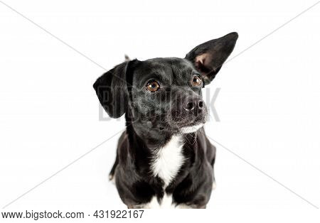 Small Black Breedless Dog Portrait, Mixed Breed Canine Looking Curious On Isolated White Background