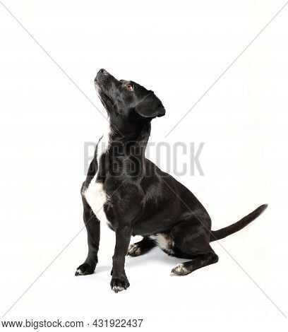 Portrait From Above Of Scrounger Dog, Asking For Food, Mixed Breed Canine With Curiosity On Isolated