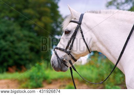 Close Up Photo, Profile Side Portrait Of White Beautiful Horse In Harness Outdoors On Natural Summer