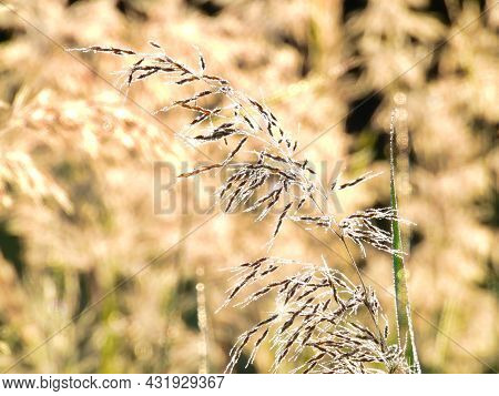 A Single Bunch Of Reed Grass In Early Morning Dew: Beads Of Dew Can Be Seen On This Bunch Of Reed Gr