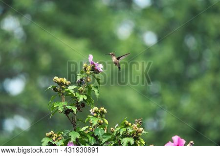 Hummingbird In Mid-air: A Ruby-throated Hummingbird Hovers In Mid Air In Front Of A Hibiscus Flower