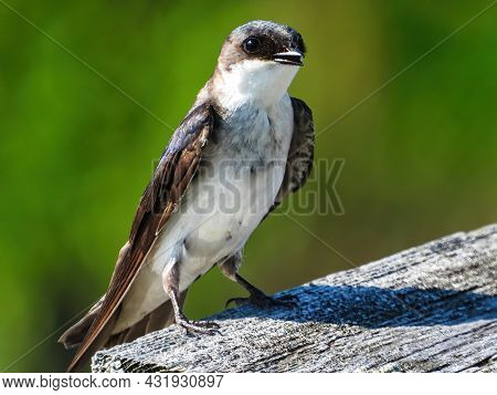 Tree Swallow Bird Perched On Bird House: A Young Tree Swallow Bird Perched On The Roof Of A Bird Hou