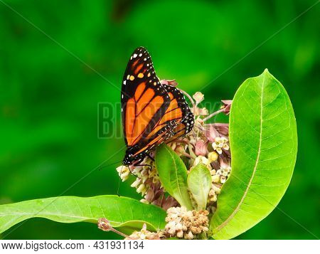 Monarch Butterfly Eats A Wildflower On A Summer Day With Bright Green Leaves And Pink And White Flow
