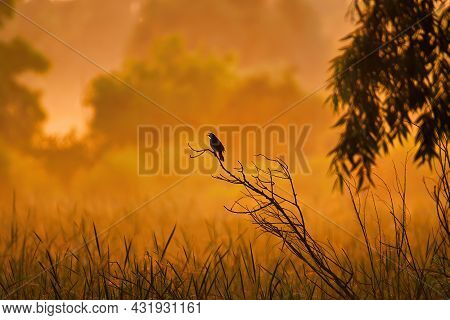Bird In The Sunrise: A Red-winged Black Bird Perched On A Tree At Dawn On A Summer Morning