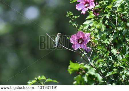 Ruby-throated Hummingbird Perched On Rose Of Sharon Bush Near Flower With Beak Open And Pollen On Be