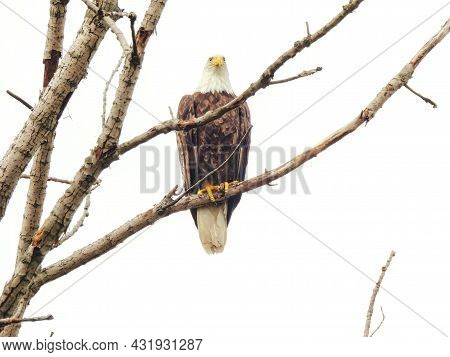 Bald Eagle In Tree: A Majestic Bald Eagle In A Bare, Naked Tree On A Cloudy Day Looking Straight Ahe