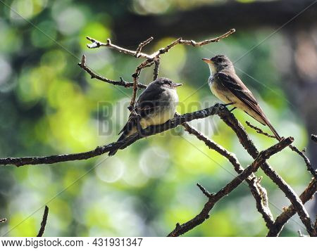 Parent And Baby Flycatcher: An Adult Flycatcher Bird Sits Next To Its Juvenile Flycatcher Baby Watch