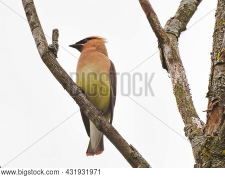 Waxwing On A Branch: A Cedar Waxwing Bird Shows Its Profile While Perched On A Tree Branch On A Clou
