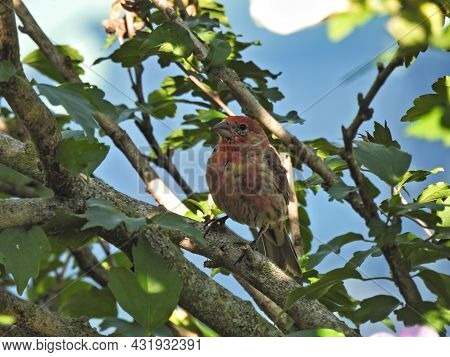 House Finch Bird Perched: A Male House Finch Bird Is Perched On A Branch In The Shade On A Summer Da