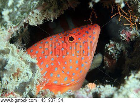 Coral Grouper (cephalopholis Miniata). South Ari Atoll, Maldives
