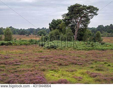 Heather And Trees At Skipwith Common, North Yorkshire, England