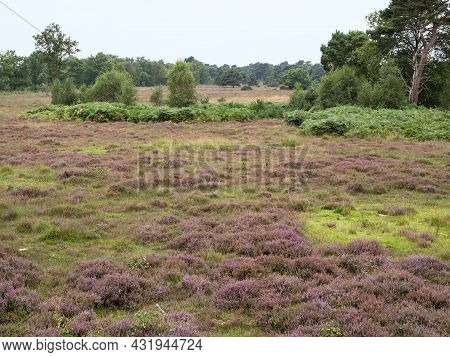 Heather Flowering At Skipwith Common, North Yorkshire, England