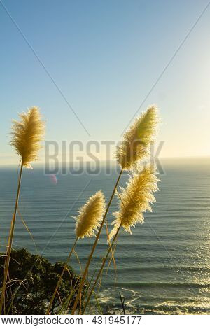 Sun Lights Up Ripples Across Sea From Horizon And Backlights The Pampas Flowers On Side Of Mount Mau