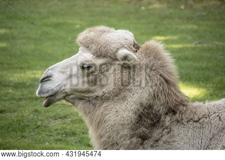 Portrait Of A White Bactrian Camel, Camelus Bactrianus Is A Large, Even-toed Ungulate Native To The