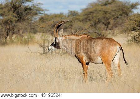 A rare roan antelope (Hippotragus equinus) in natural habitat, Mokala National Park, South Africa