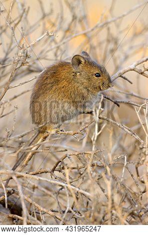 A Karoo bush rat (Otomys unisulcatus) in natural habitat, South Africa