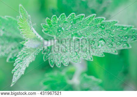 A Leaf Of Fragrant Lemon Balm Or Mint On An Indistinct Background Of Foliage.