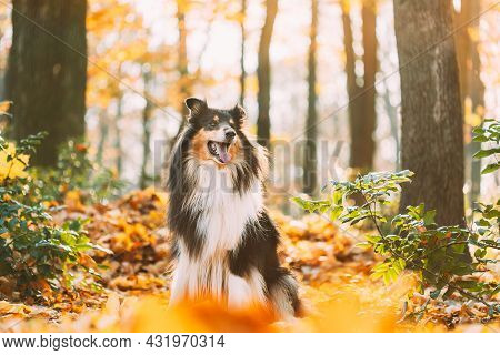 Tricolor Rough Collie, Funny Scottish Collie, Long-haired Collie, English Collie, Lassie Dog Outdoor