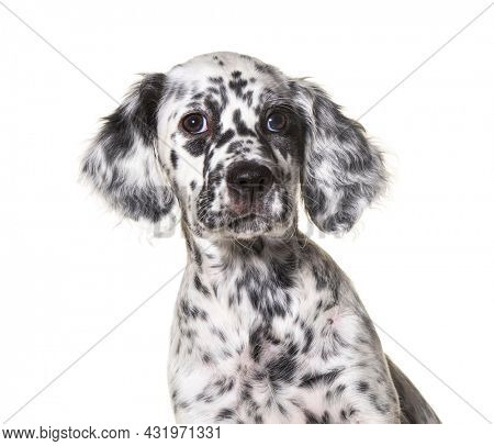 head shot portrait puppy english setter dog spotted black and white, two months old