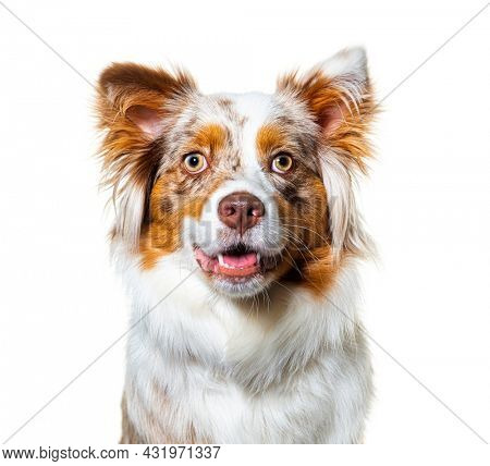 Head shot of a Red merle australian shepherd dog panting and facing, isolated on white