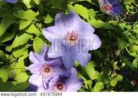 Large Blue Clematis Flowers And Green Leaves,