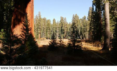 Sequoia Forest, Redwood Trees In National Park, Northern California, Usa. Old-growth Woodland Near K
