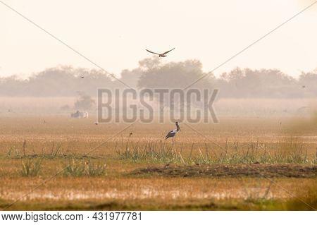 Fight Between Two Migratory Predators Over Prey Marsh Harrier Snatching Kill Of Eurasian Coot Bird F