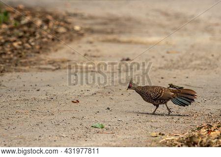 Kalij Pheasant Or Lophura Leucomelanos Female On Running On Forest Track At Dhikala Zone Of Jim Corb