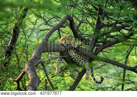Wild Female Leopard Or Panther Resting On Tree Trunk Or Branch With Eye Contact In Natural Monsoon G