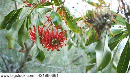Firewheel Tree Red Flowers, California Usa. Australian White Beefwood Oak, Stenocarpus Sinuatus Unus