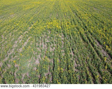 Rape Seedlings On A Farm Field. Blooming Rapeseed, Top View.