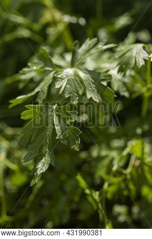 Parsley. Parsley Leaves. Green Leaves. Parsley Growing In The Garden. Close-up. Garden, Macro Top Vi
