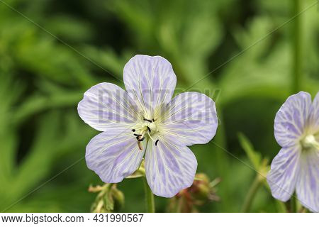 Violet Cranesbill With White Marked Veins, Unknown Geranium Species, Flower In Close Up With A Backg