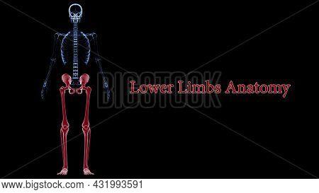 Human Skeleton Lower Limbs Anatomy 3d Illustration