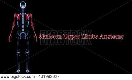 Human Skeleton Upper Limbs Anatomy 3d Illustration