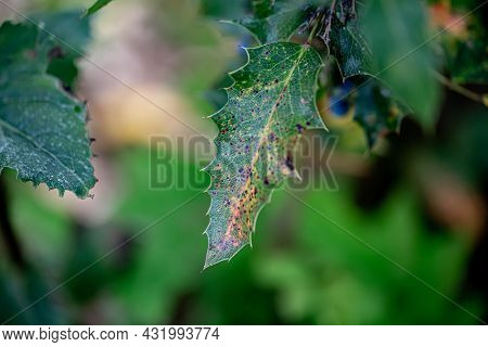 Close-up Of Holly Branch. Nature Blurred Background Of Holly Branches In Summer. Toned Image. Shallo