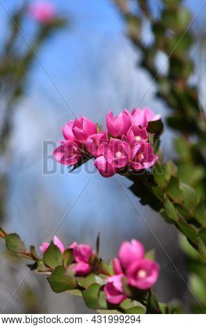 Deep Pink Flowers Of The Australian Native Rose, Boronia Serrulata, Family Rutaceae, Against Blue Sk