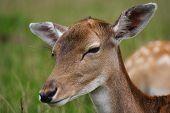 Young deer / fawn closeup from Jutland Denmark poster