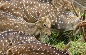 Brown deer eat green grass. In the zoo. poster